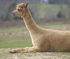 Celeste - one relaxed alpaca