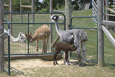 Guinevere feeds new baby Rumble as other alpacas watch